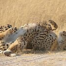 Lie back and think of cheetahs by Anthony Brewer