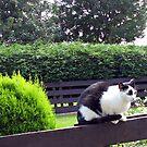 Cat on Fence von BlueMoonRose