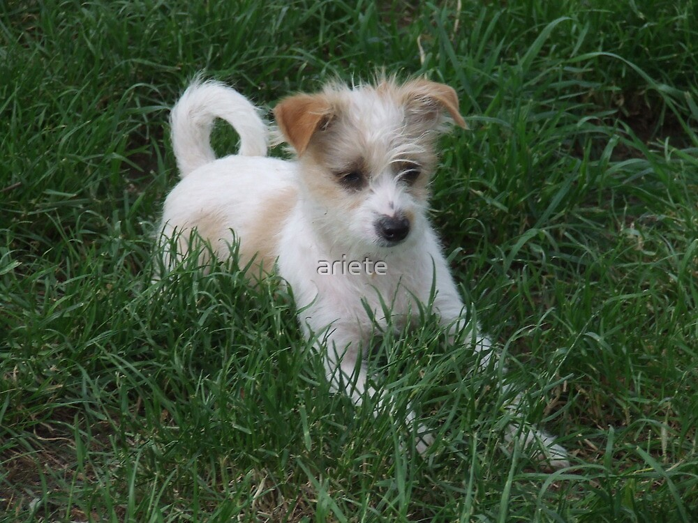 Jack Russell Puppy by ariete