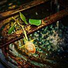 Yellow rose by Silvia Ganora