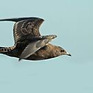 Migrating Artic Skua by Robert Abraham