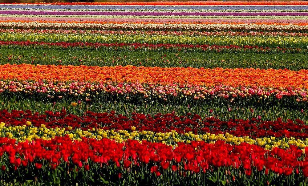 tulip field  by supergold