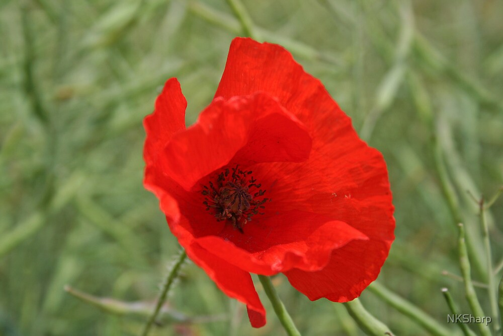 Single Red Poppy by NKSharp