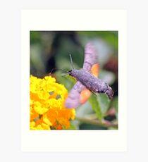 Hummingbird Hawkmoth (Macroglossum stellatarum ):  Art Print