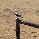 Black-shouldered Kite - iPhone Case by Jeannie26