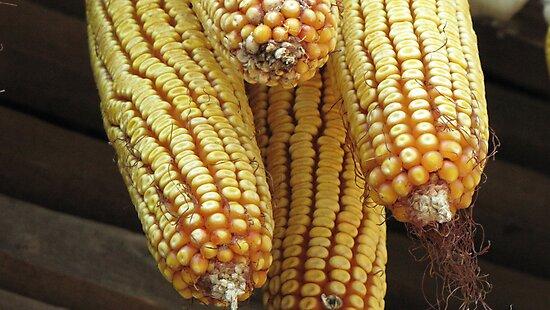 Corn 2011 by branko stanic