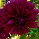 Purple Daliha by dhmielowski