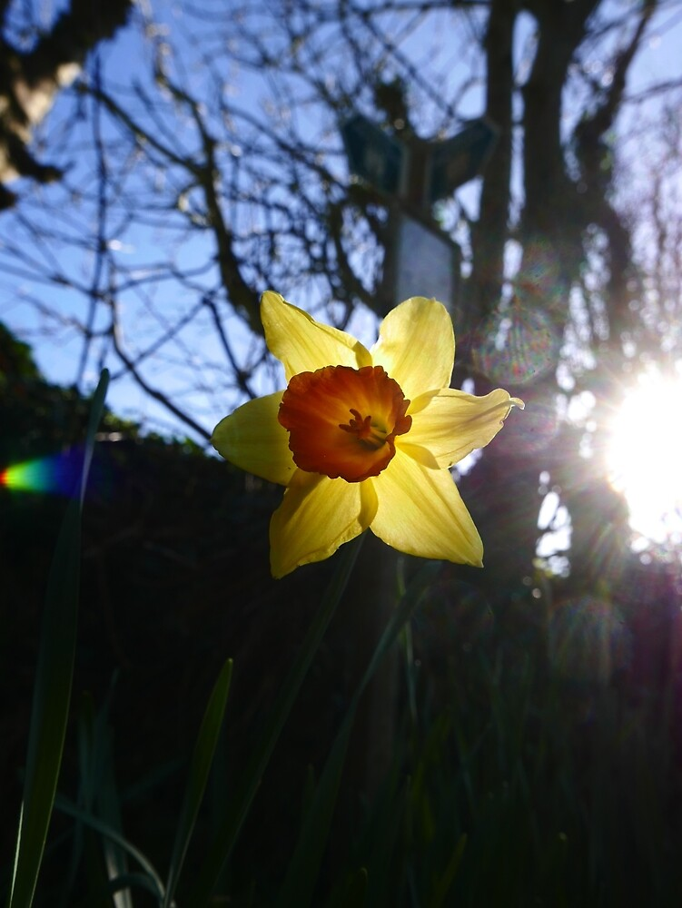 Daffodil (Narcissus pseudonarcissus) by IOMWildFlowers