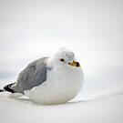Gulls Winter Pose by Karol Livote