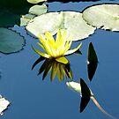 Waterlily #5 by dandefensor
