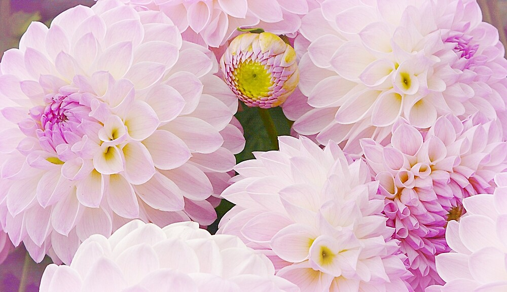 Sweet, Sweet Dahlias by Alexandra Lavizzari