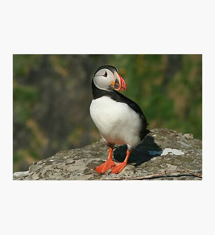 Watchful puffin Photographic Print