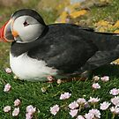 Puffin in the pinks by Fiona MacNab
