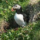 Emerging puffin by Fiona MacNab