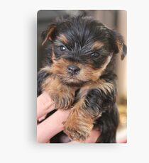 Teacup Yorkshire Terrier Canvas Print