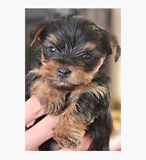 Teacup Yorkshire Terrier Photographic Print