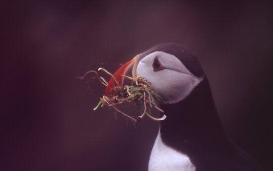 Puffin 2 by Fiona MacNab