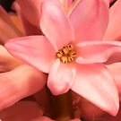 i Pink Hyacinth by Gary L   Suddath