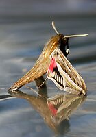 Wingerdpylstertmot - Hippotion celerio - Silver-striped Hawk-Moth by Rina Greeff