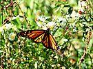Monarch Butterfly  by Marcia Rubin