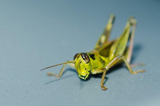 Small grasshopper by vasu