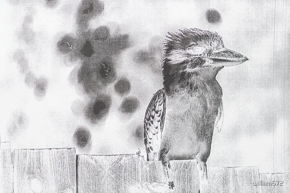 kookaburra by william672