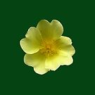 "Potentilla fruticosa ""Elizabeth"" for iPhone by Philip Mitchell"