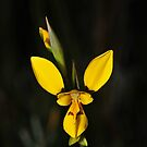 Diuris sp? by Colin12