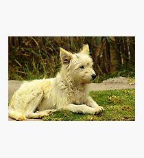White Shaggy Dog Photographic Print