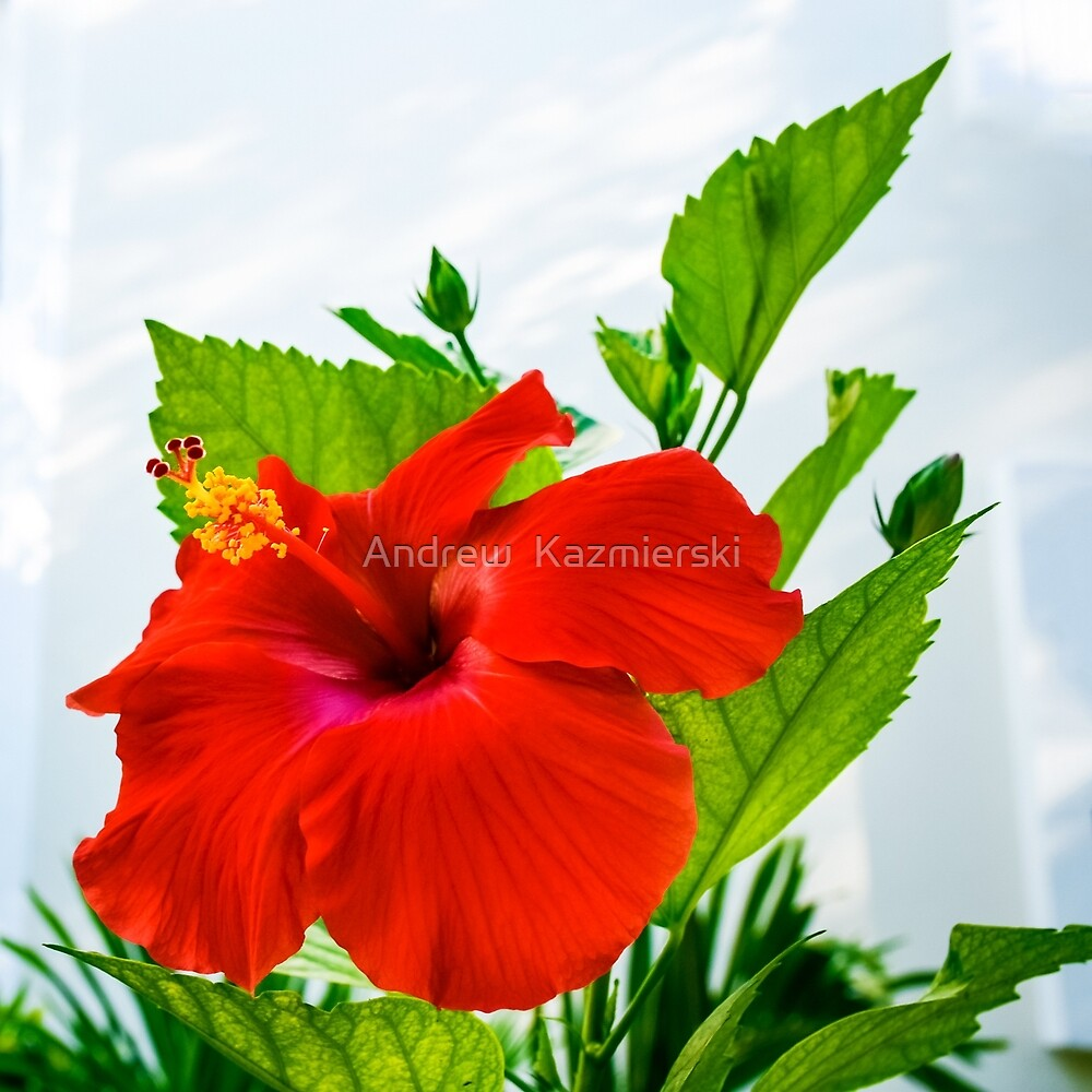 Hibiscus Closeup by andykazie