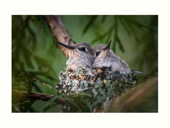Bosom Buddies -- Anna's Hummingbird Nestlings by Tom Talbott