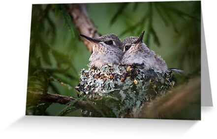 Bosom Buddies -- Anna's Hummingbird Nestlings by Tom Talbott