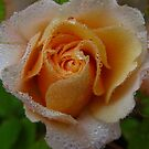Embroidered with misty rain, a Miniature Rose. by Rita Blom