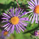 New England Aster by NewfieKeith