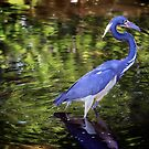 Great Blue Heron by Roma Czulowska