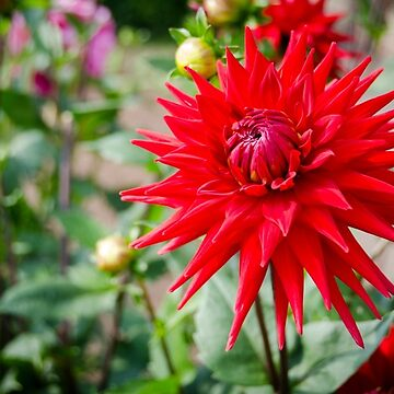 Red Spiky Dahlia by CarolynEaton