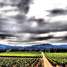 Napa Valley Vineyard by NancyC