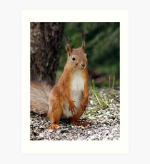 A red squirrel with nothing to do Art Print