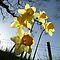 Flowering Bulbs that Show Sky