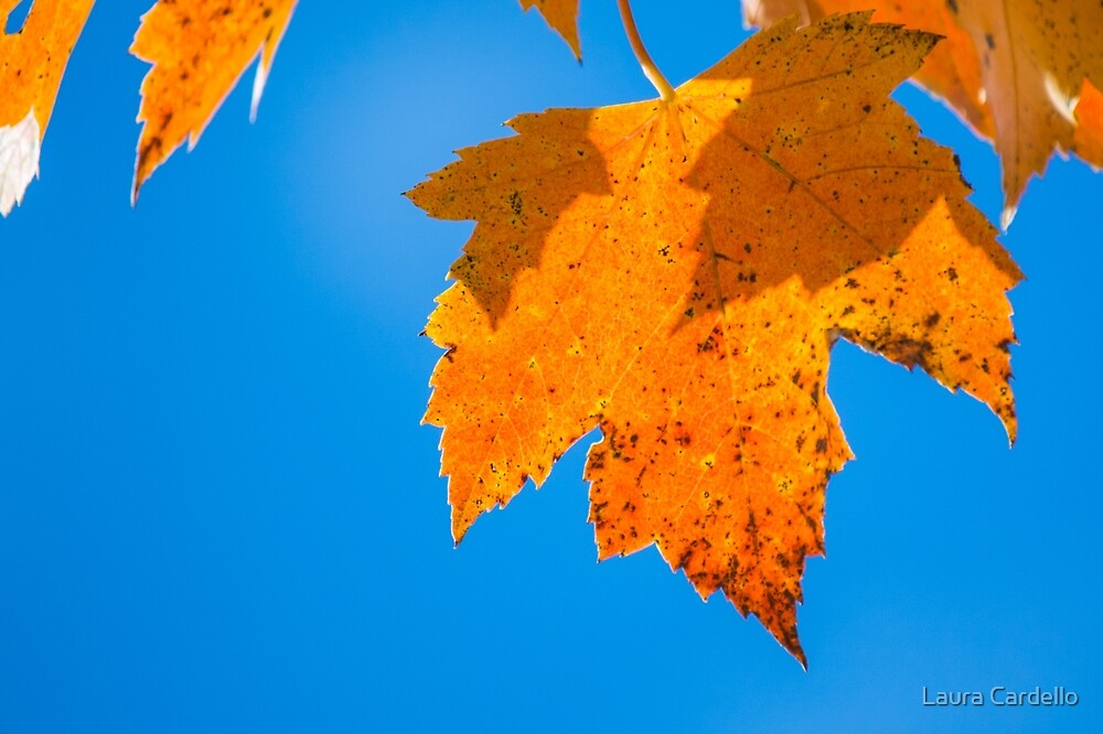 Maple Leaf by Laura Cardello