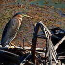 Green Heron 1 by Charlie