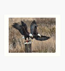 Bald Eagles with Prey Art Print