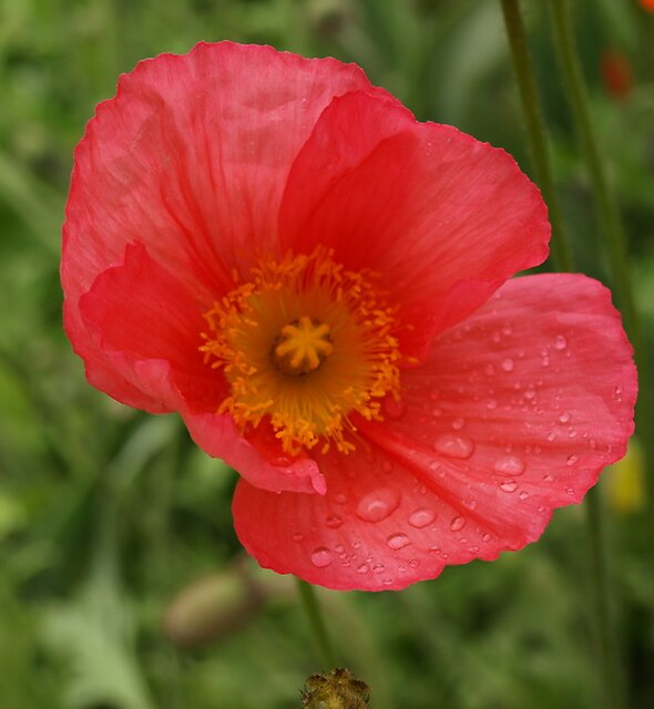 Poppy by medley