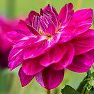 Dark Pink Dahlia by Belinda Osgood
