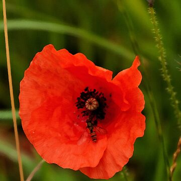 Arty Poppy by PhotoLouis