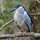 Black Crowned Night Heron In A Tree by Kathy Baccari