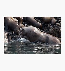 Bull Moose Sea Lion, Juneau, Alaska Photographic Print