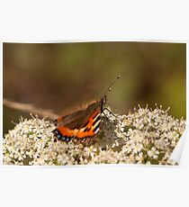 Small Tortiseshell Butterfly Poster
