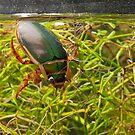 Great Diving Beetle by kernuak