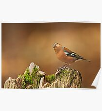 Male Chaffinch with Head Cocked Poster